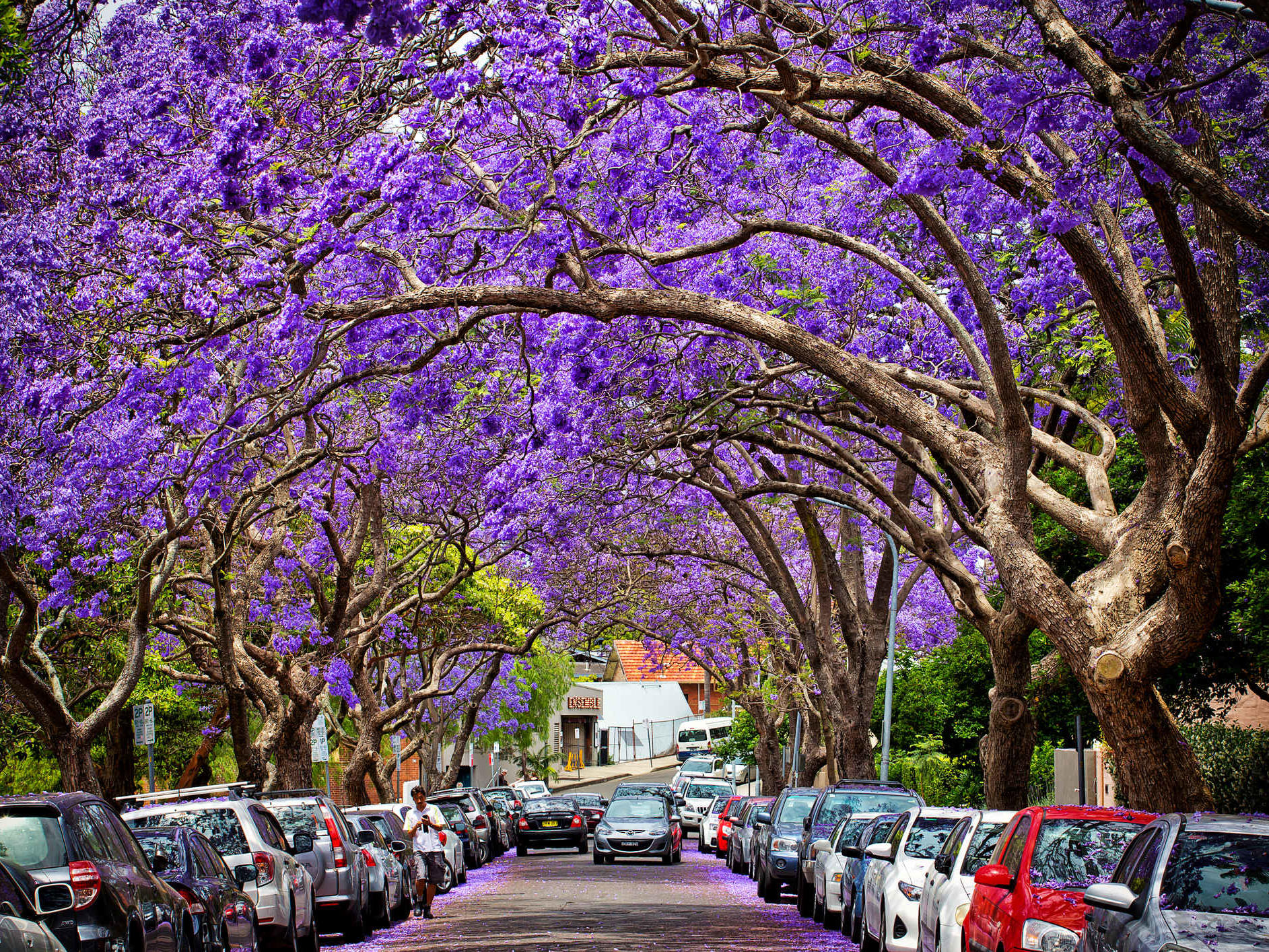 Purple Rain where to catch the best displays this jacaranda season