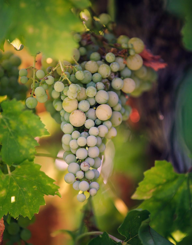 Vineyard grapes grown onsite at Allegretto Vineyard Resort