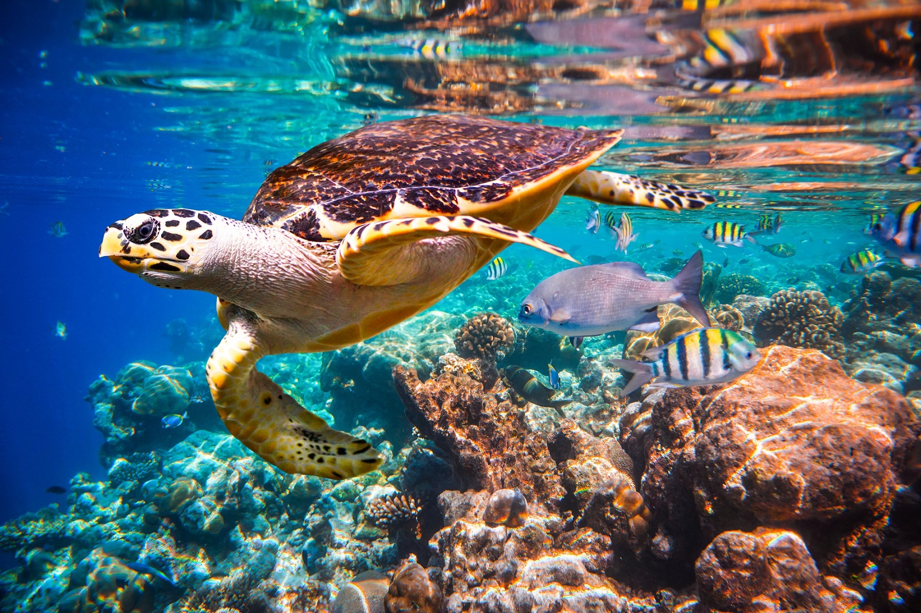 a turtle swimming by a reef