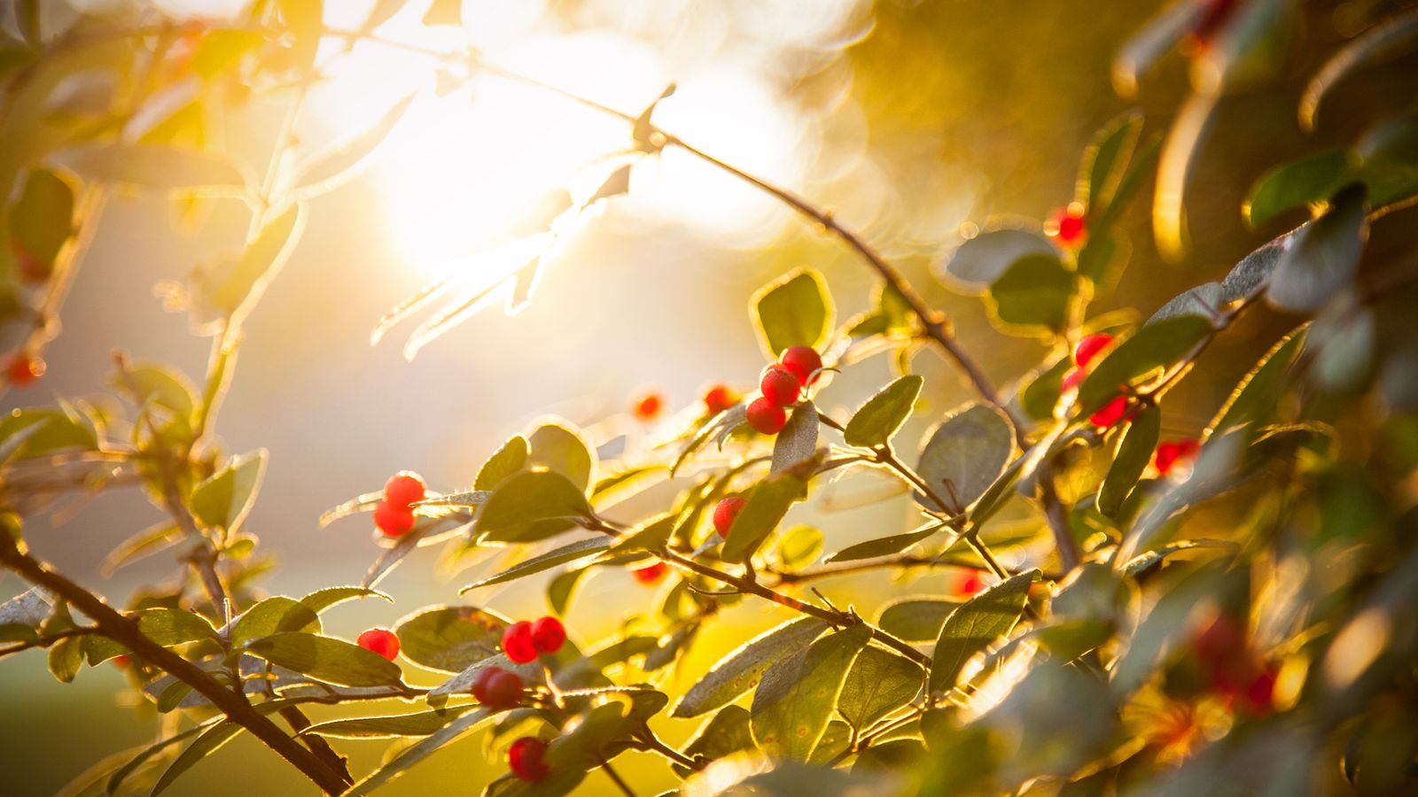 honeysuckle with sunrise