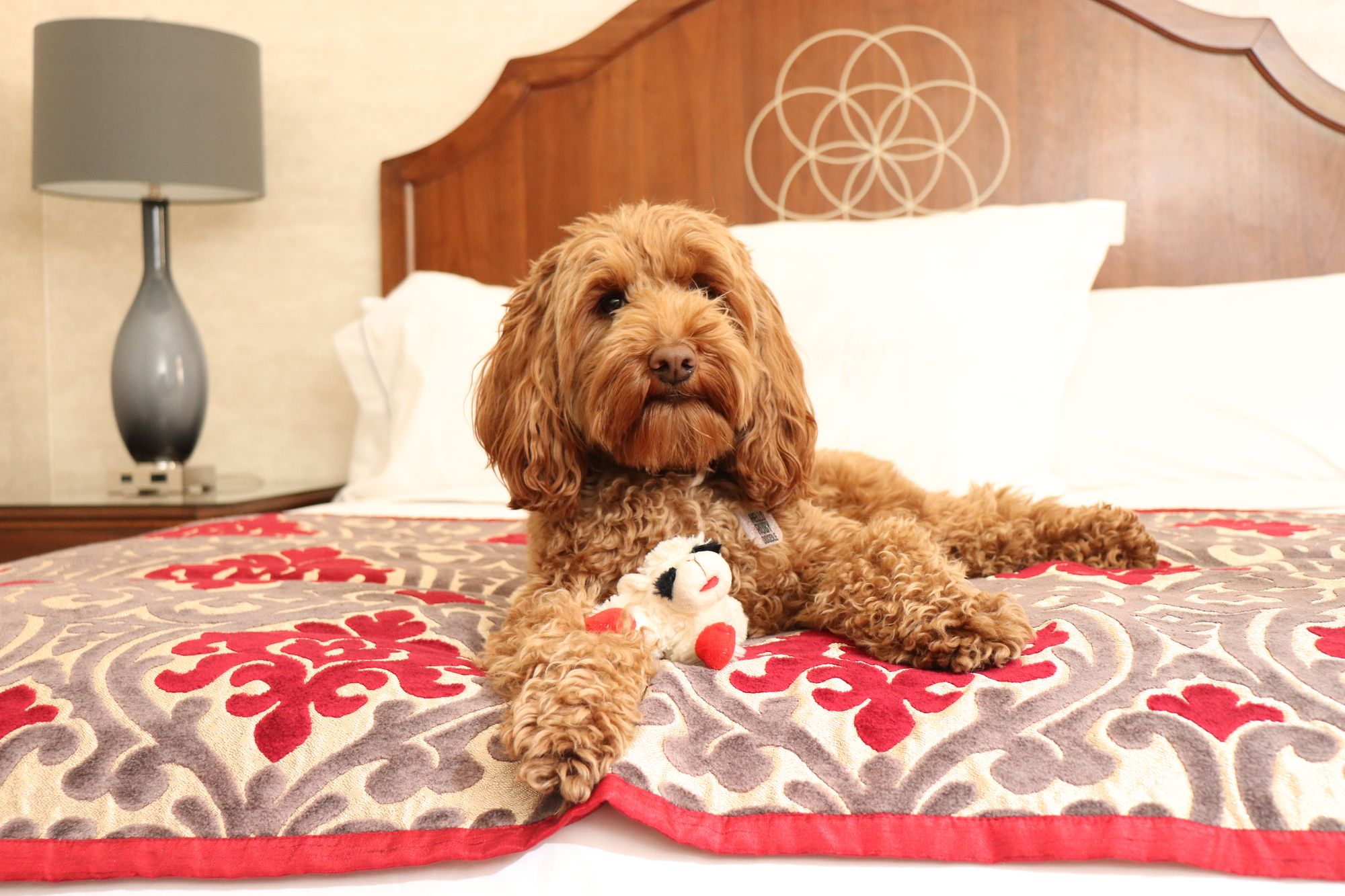 Labradoodle laying on bed with chew toy