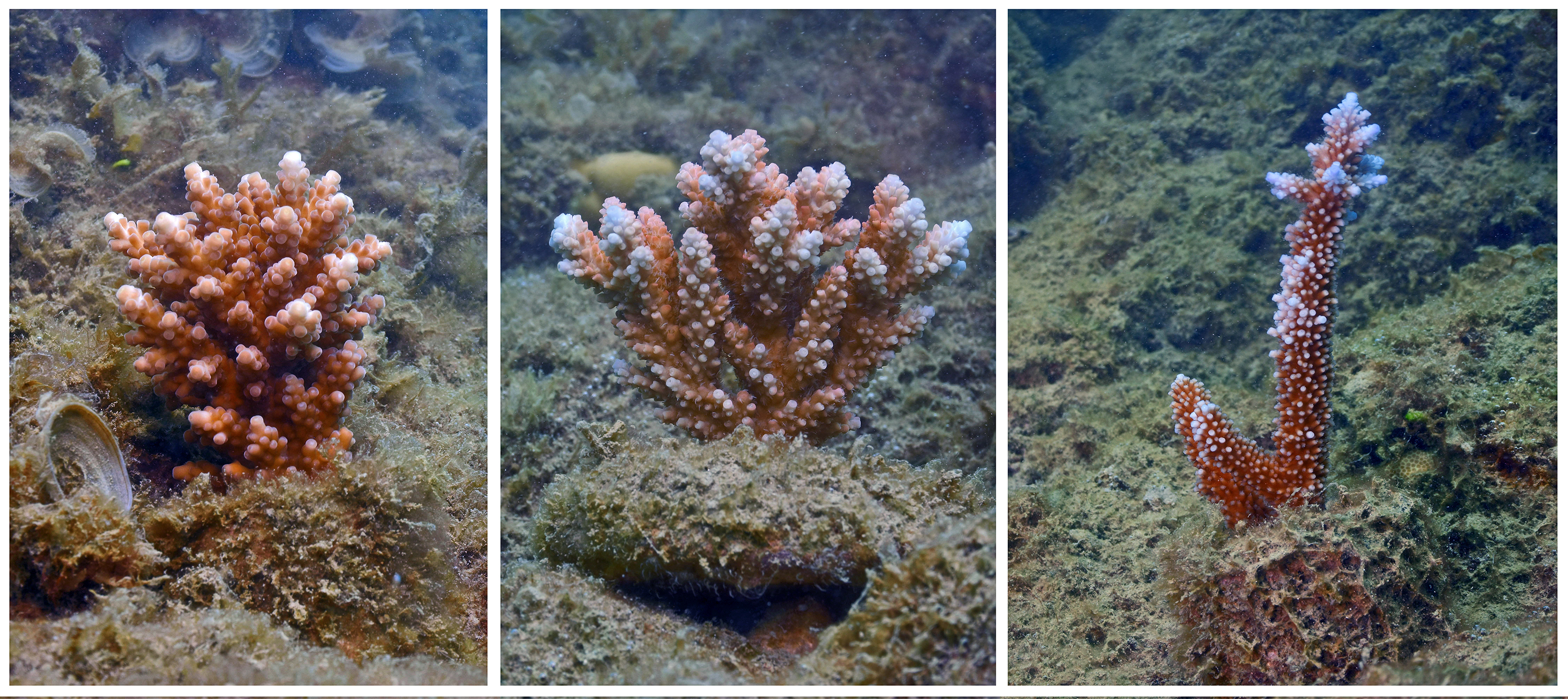 Out planted coral at Lovers Cove