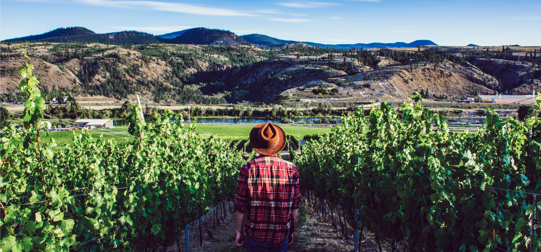 man walking through vineyard in kamloops