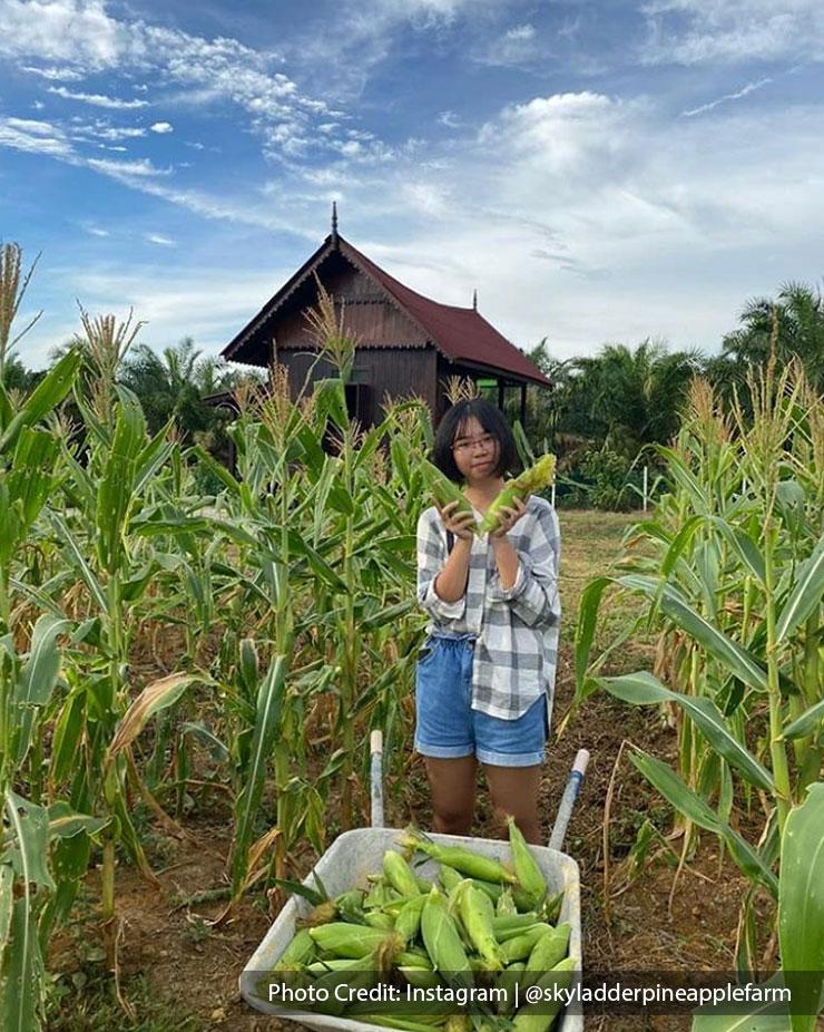 woman at corn plantation farm port dickson