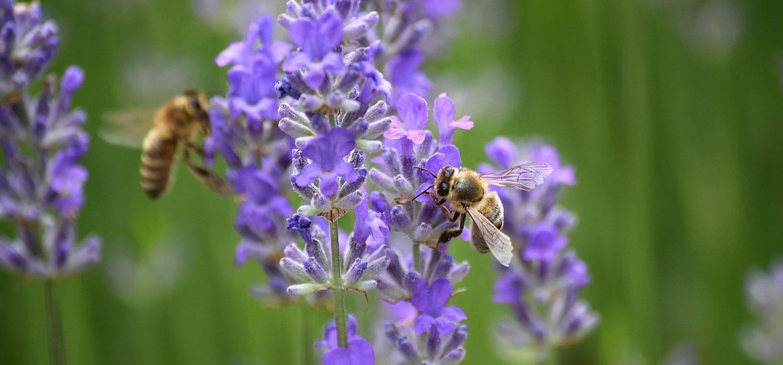 bees enjoying lavender