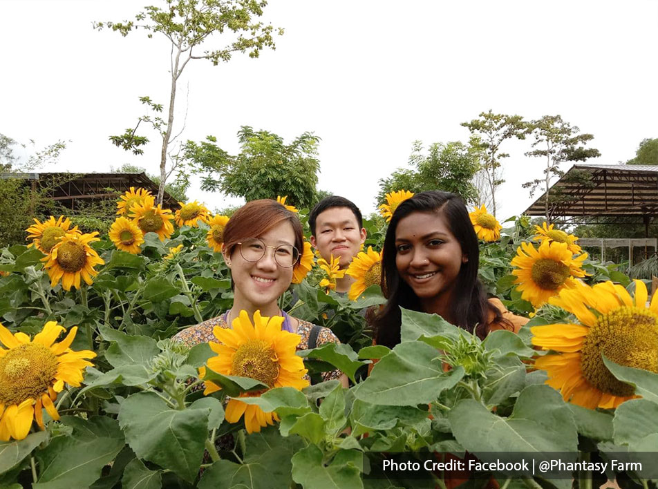 Tourists taking photos with giant sunflowers