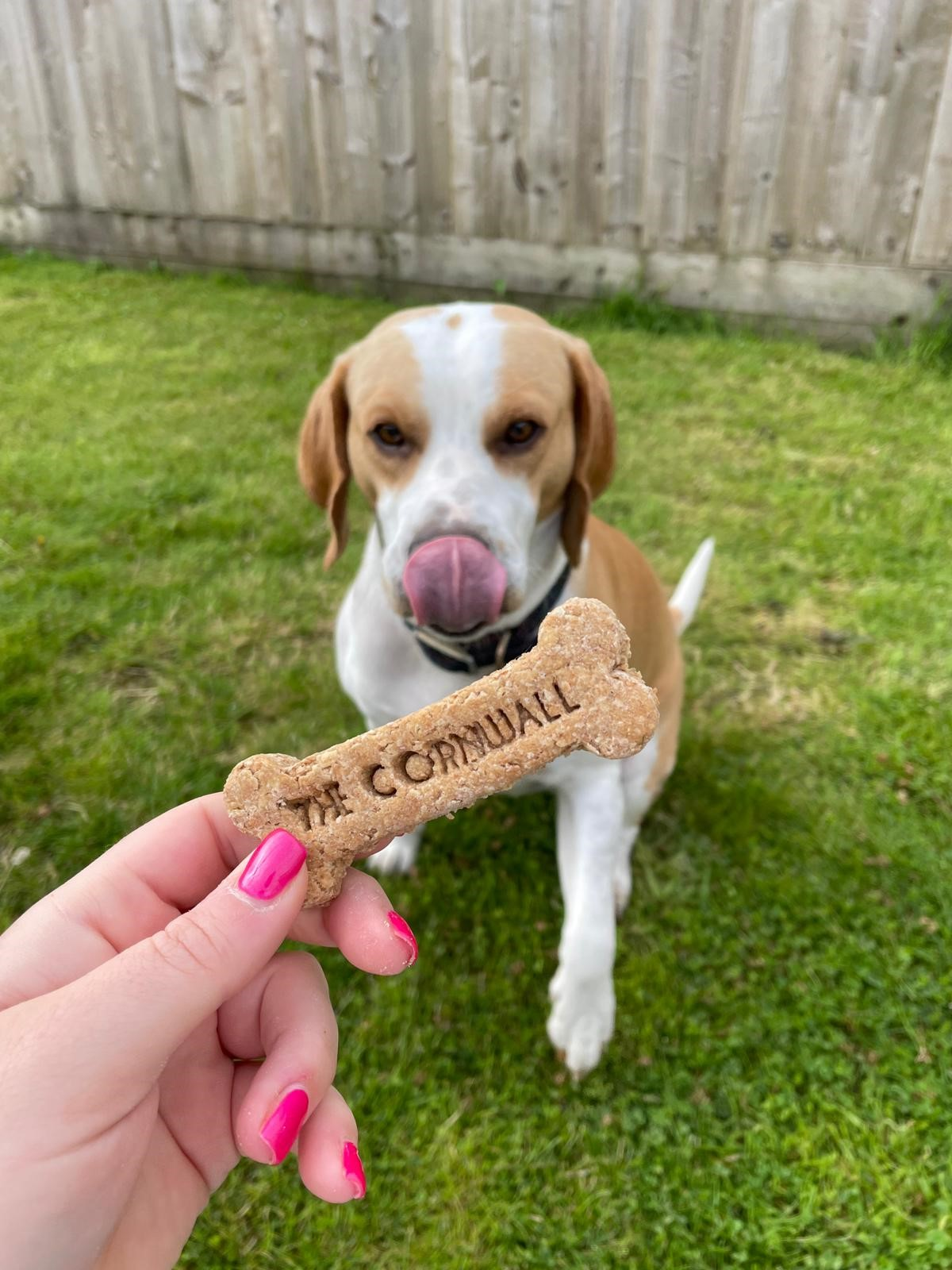Tez tasting The Cornwall's dog biscuits