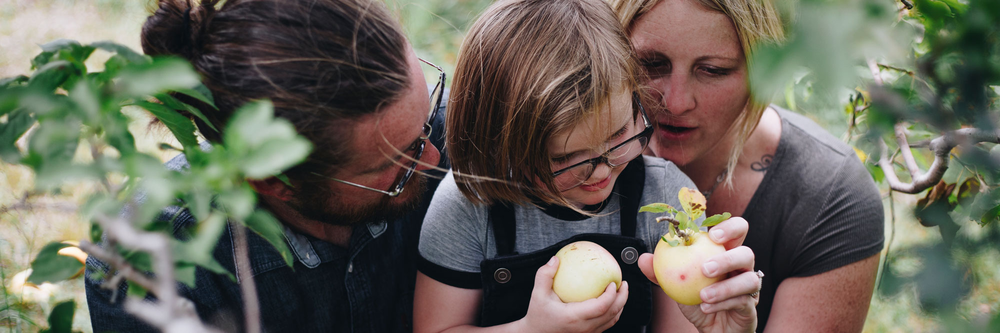 Father, mother, daughter apple picking. Daughter and mother each holding golden apples.