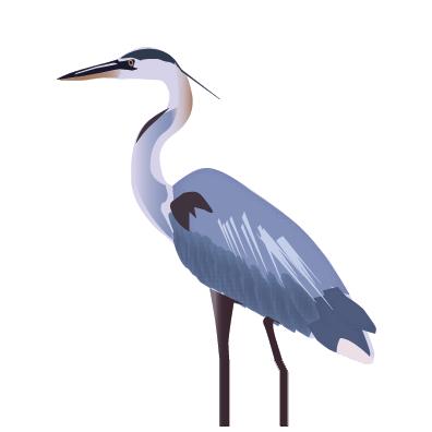 blue heron image