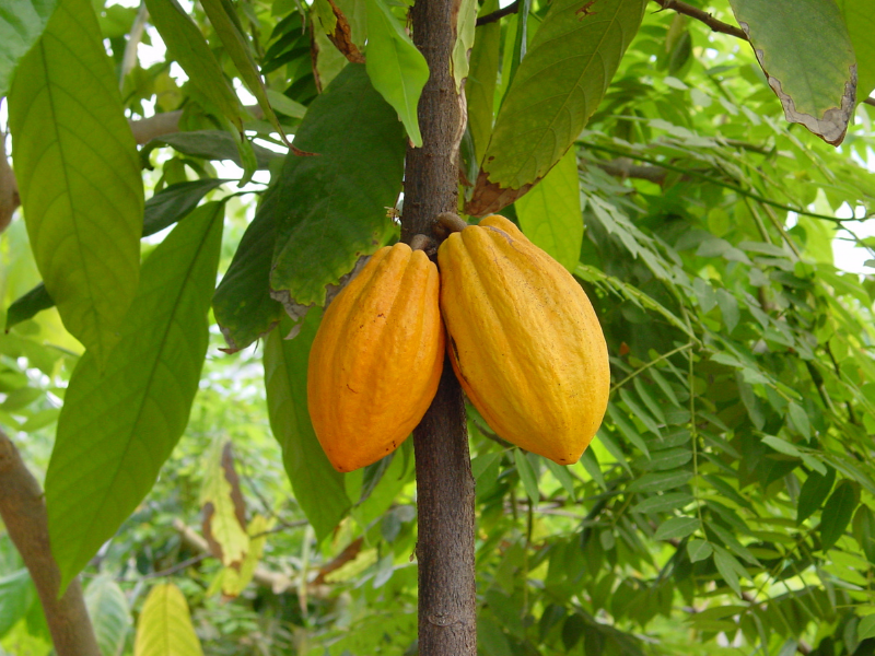 cocoa pods in the Eden Project
